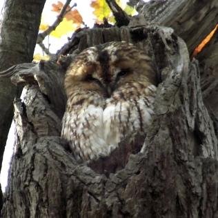 Headington Heritage Tawny Owls www.headingtonheritage.org.uk